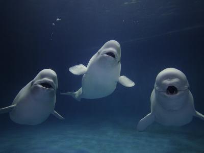 Beluga (Delphinapterus Leucas) Whale Trio Calling, Vulnerable, Shimane Aquarium, Japan
