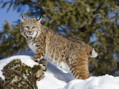 Bobcat (Lynx Rufus) in the Snow, Kalispell, Montana