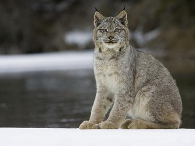 Canada Lynx (Lynx Canadensis) Sitting in the Snow, Kalispell, Montana