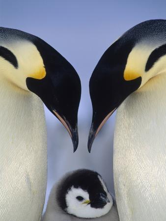 Emperor Penguin (Aptenodytes Forsteri), Atka Bay, Princess Martha Coast, Weddell Sea, Antarctica