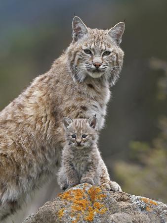 Bobcat (Lynx Rufus) Mother and Kitten, North America