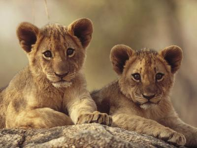 African Lion (Panthera Leo) Cubs Resting on a Rock, Hwange National Park, Zimbabwe, Africa