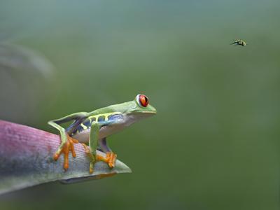 Red-Eyed Tree Frog (Agalychnis Callidryas) Eyeing Bee Fly (Bombyliidae) Costa Rica