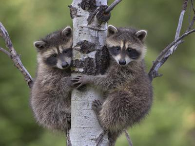 Raccoon (Procyon Lotor) Two Babies Climbing Tree, North America
