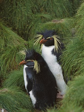Rockhopper Penguin (Eudyptes Chrysocome) Pair, Gough Island, South Atlantic