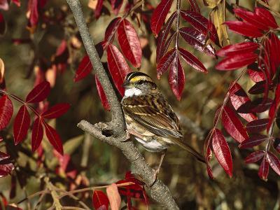 White-Throated Sparrow (Zonotrichia Albicollis) Perching in Bush, Long Island, New York