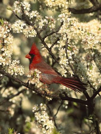Northern Cardinal (CardinalisCardinalis) in Beach Plum (PrunusMaritima) Tree, Long Island, New York