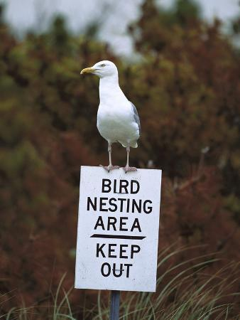 Herring Gull (Larus Argentatus) Adult Perched on 'Keep Out' Sign, Long Island, New York