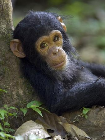 Chimpanzee (Pan Troglodytes) Baby Against a Tree, Endangered, Gombe Stream Nat'l Park, Tanzania