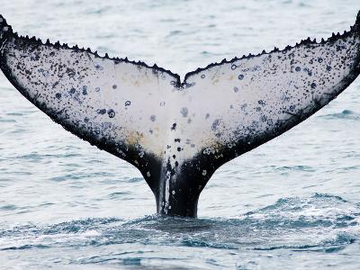 Humpback Whale (Megaptera Novaeangliae) Fluke, Abrolhos Islands, Bahia, Brazil