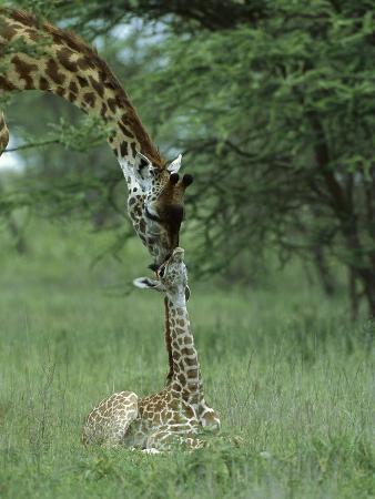 Giraffe (Giraffa Camelopardalis) Newborn Calf and Mother, Ngorongoro Conservation Area, Tanzania