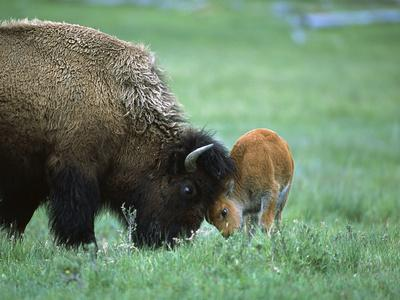 American Bison (Bison Bison) Female Playing with Calf, Yellowstone Nat'l Park, Montana