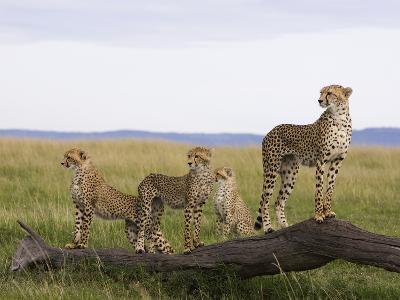 Cheetah (Acinonyx Jubatus) Mother and 6 Month Old Cubs, Masai Mara Nat'l Reserve, Kenya