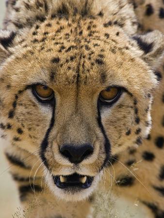 Cheetah (Acinonyx Jubatus) Defensive Behavior, Cheetah Conservation Fund, Otijwarongo, Namibia
