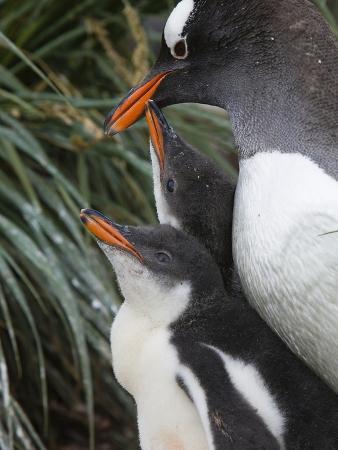 Gentoo Penguin (Pygoscelis Papua) Hungry Chicks Begging for Food, Gold Harbor, South Georgia Island