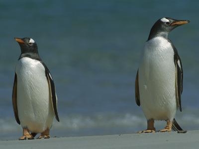 Gentoo Penguin (Pygoscelis Papua) Pair on Beach, Falkland Islands