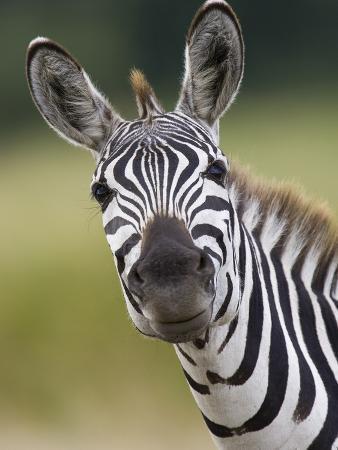 Burchell's Zebra (Equus Burchellii) Portrait, Masai Mara, Kenya