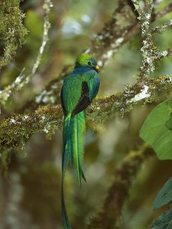 Resplendent Quetzal (Pharomachrus Mocinno) Female Perching in a Tree, Costa Rica