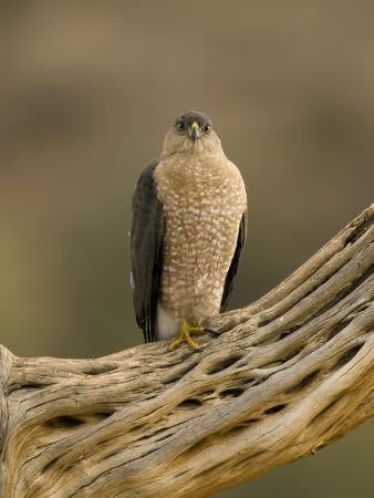 Cooper's Hawk (Accipiter Cooperii) on Saguaro Husk, Green Valley, Arizona