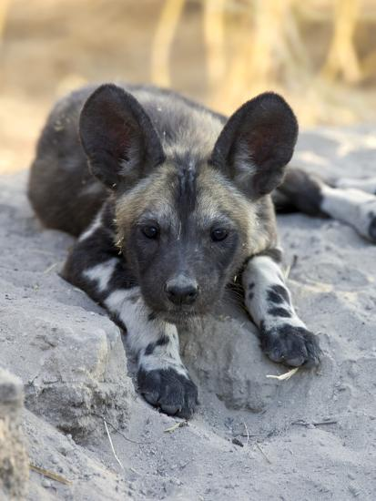 African Wild Dog (Lycaon Pictus) Six to Eight Week Old Pup ...