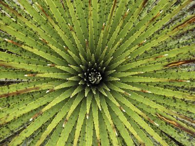 Bromeliad (Puya Sp) Detail Showing Spiraling Leaves, Purace Nat'l Park, Colombia