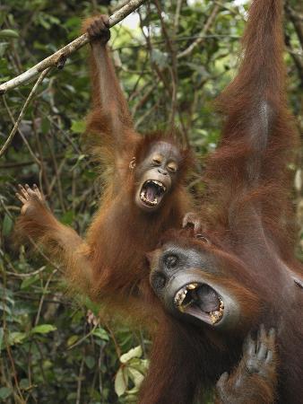Orangutan (PongoPygmaeus) Female and Baby Calling, Camp Leaky, Tanjung Puting Nat'l Park, Indonesia