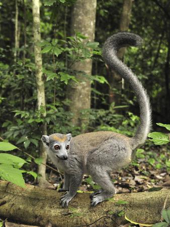 Crowned Lemur (Eulemur Coronatus) Female, Ankarana Special Reserve, Madagascar