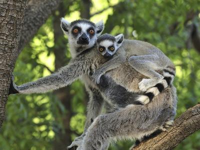 Ring-Tailed Lemur (Lemur Catta) Female and Baby, Berenty Private Reserve, Madagascar