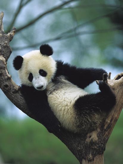 Giant Panda (Ailuropoda Melanoleuca) Endangered, One Year