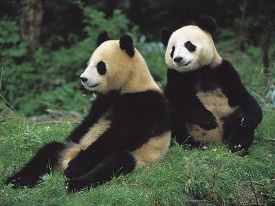 Giant Panda (Ailuropoda Melanoleuca) Endangered, Two Cubs Sitting
