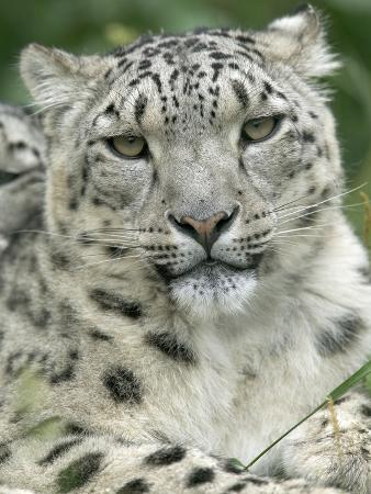 Snow Leopard (Uncia Uncia), Endangered Native to Asia and Russia