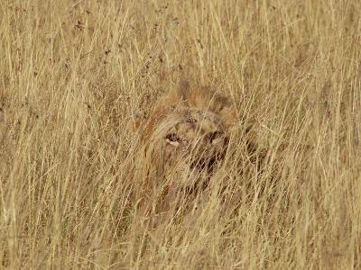 Lion (Panthera Leo) Young Male Camouflaged in Tall Grass, Masai Mara, Kenya