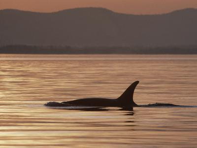 Orca or Killer Whale (Orcinus Orca) Surfacing, North America