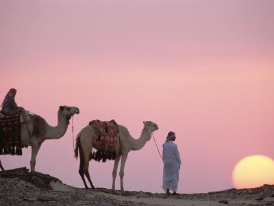 Bedouins with Dromedary Camels (Camelus Dromedarius) at Sunset, Oasis Dakhia, Egypt