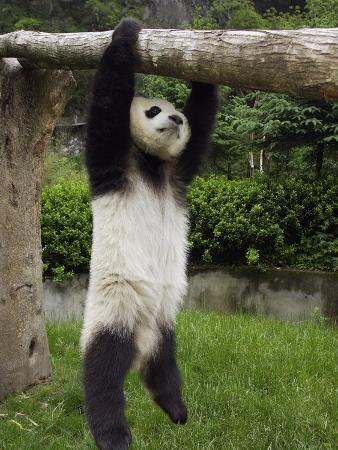 Giant Panda (Ailuropoda Melanoleuca) Young Panda Hanging from Tree