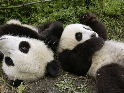 Giant Panda (Ailuropoda Melanoleuca) Young Pandas Playing, Wolong Nature Reserve, China