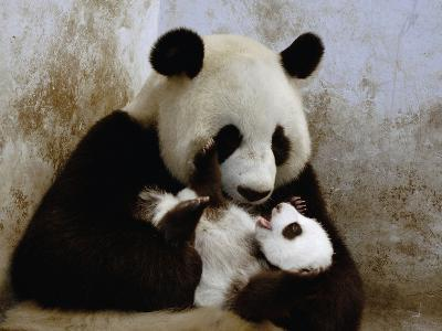 Giant Panda (Ailuropoda Melanoleuca) Caring for Cub, Wolong Nature Reserve, China