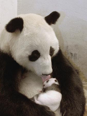 Giant Panda (Ailuropoda Melanoleuca) with Cub, Wolong Nature Reserve, China