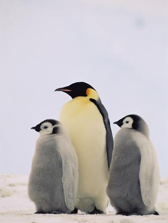Emperor Penguin (Aptenodytes Forsteri) Parent with Two Chicks, Antarctica