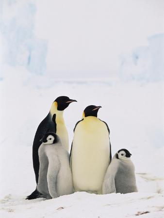 Emperor Penguin (Aptenodytes Forsteri) Parents with Two Chicks, Antarctica