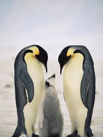 Emperor Penguin (Aptenodytes Forsteri) Parents with Chick, Antarctica