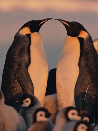 Emperor Penguin (Aptenodytes Forsteri) Parents with Chicks, Antarctica
