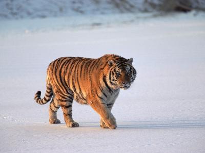 Siberian Tiger (Panthera Tigris Altaica) Walking across Snow