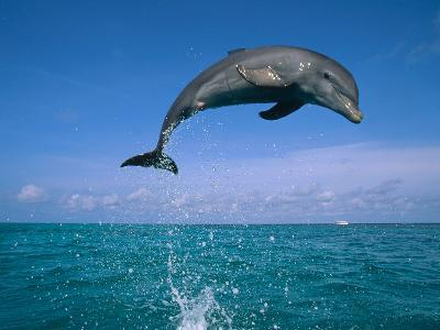 Bottlenose Dolphin (Tursiops Truncatus) Leaping Out of Water, Caribbean