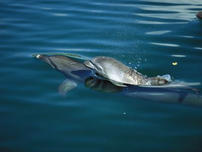 Bottlenose Dolphin (Tursiops Truncatus) with Baby, Caribbean