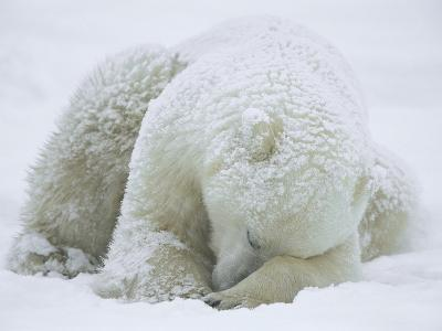Polar Bear (Ursus Maritimus) Sleeping, Hudson Bay, Canada