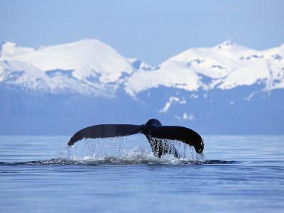 Humpback Whale (Megaptera Novaeangliae) Tail Against Snowy Mountains, Alaska
