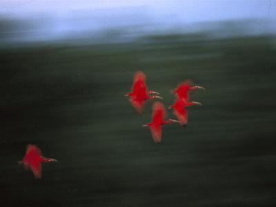 Scarlet Ibis (Eudocimus Ruber) Flock Flying, Trinidad, West Indies, Caribbean