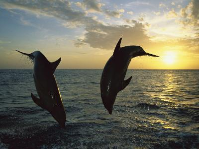 Bottlenose Dolphin (Tursiops Truncatus) Pair Leaping from Water at Sunset, Caribbean