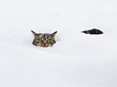 Domestic Cat (Felis Catus) in Deep Snow, Germany